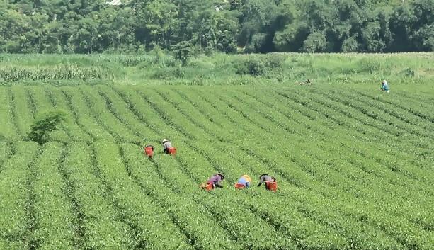 Hà Tĩnh: Mở rộng diện tích chè VietGap nhằm đảm bảo nguồn cung ổn định cho thị trường